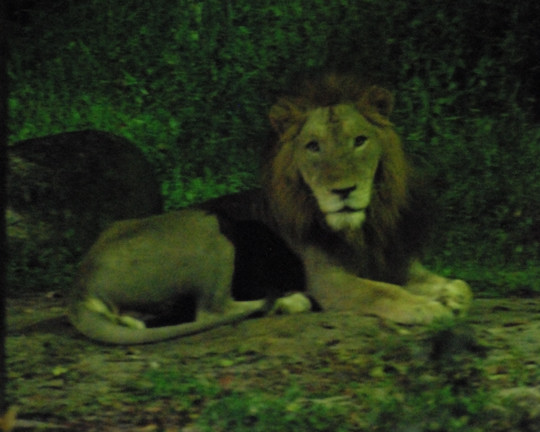 night safari singapore zoo singapore 999places. Black Bedroom Furniture Sets. Home Design Ideas